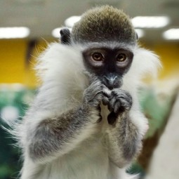 «Выставка обезьян»